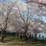 cherry blossoms - 2018